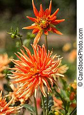 flor, jardim, cima, amarela, fim, laranja,  Dahlia