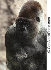 Silverback gorilla in Loro Park - Silverback gorilla...