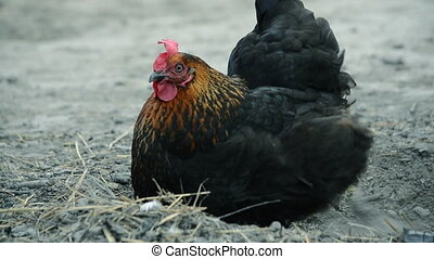 Black chicken pecks the feed - Black chicken digs the ground...