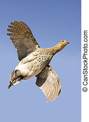 sharp-tailed grouse tympanuchus phasianellus in flight -...