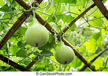 Bottle Gourd - Calabash or Bottle Gourd vegetable for health...