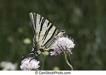 Scarce swallowtail butterfly - Iphiclides podalirius, Scarce...