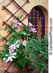 Clematis - beautiful pink clematis twist around facade