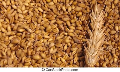 Wheat crop harvest, grains falling over ripe wheat ear