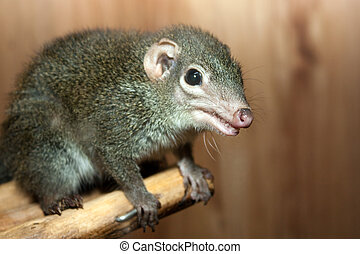 Tupaia glis tree shrew rodent animal fur squirrel