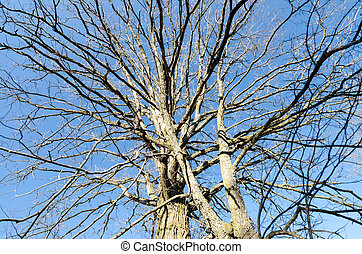 Tree with alot of bare branches - A tree stretches through...
