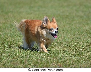 Long Coat Chihuahua Walking on Grass Lawn