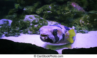 Beautiful underwater world with glant puffer fish -...