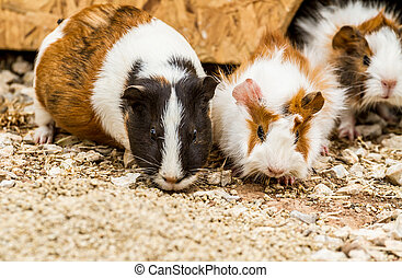 Spotted guinea pigs - Three spotted guinea pigs sitting near...