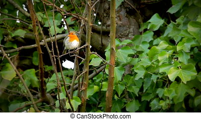 European robin sitting in a tree - European robin, little...