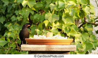 Black bird observe and eat bread - Black bird observing...