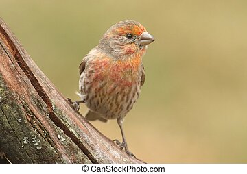 Orange Male House Finch (Carpodacus mexicanus) perched with...