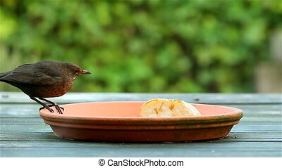Song trush bird eating bread - Song trush or mavis bird...