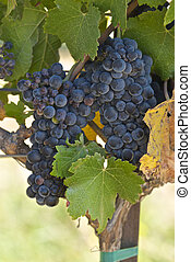 Cabernet on the Vine - These grapes are ready for the late...