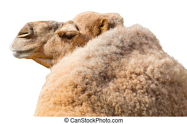 Camel Isolated on a White Background - View from back of...