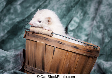 White ferret in basket.
