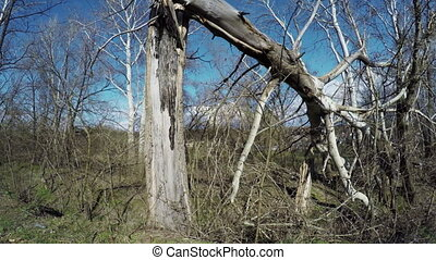 Broken trees in nature - Camera makes semicircle on...