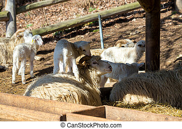 Sheep with lamb on rural farm - Sheep with small lamb on...
