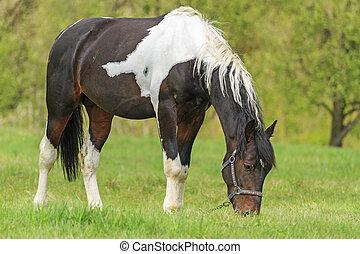 hermoso, primavera,  Mustang, pasto
