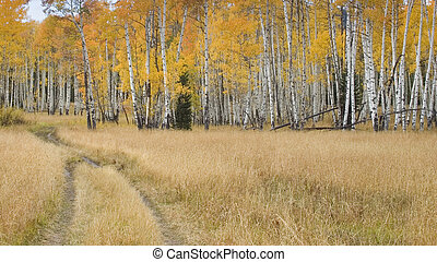 Tire Tracks Going Into a Forest of Aspens in Autumn - Scenic...