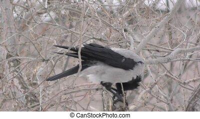 Hoodie (Corvus cornix) lunching in winter - Hoodie (Corvus...