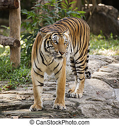 Bengal tiger walking in the zoo of Thailand