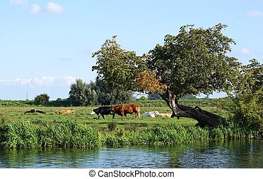Cows In The Cambridgeshire Fens - Red bull and Black...