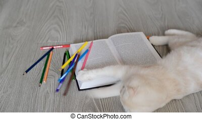 Beige Scottish Fold kitten playing with pencils and books -...