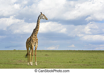 Giraffe Giraffa camelopardalis crossing savanna grasslands,...