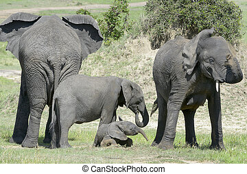 African Elephant Loxodonta africana family standing together...