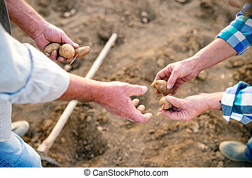 Unrecognizable senior couple hands, planting potatoes into...