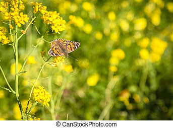 Rapeseed plantation with butterfly