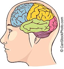 Brain anatomy diagram with sectioned in different colours...