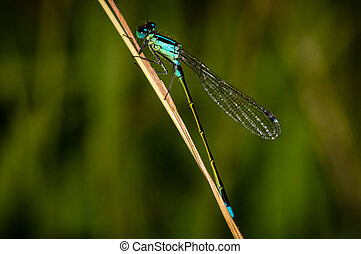 Damsel Fly - A blue Damsel Fly on a grass stem
