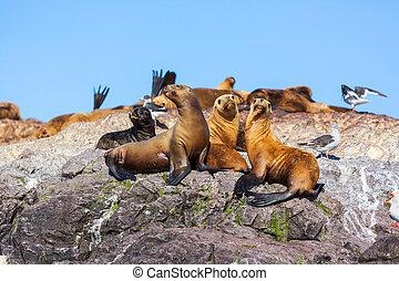 Sea lion - sea lion
