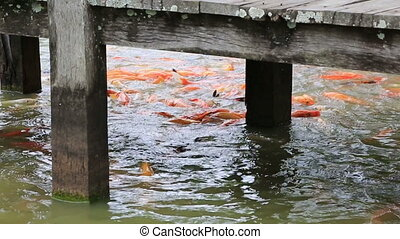 Feeding of carps in the pond