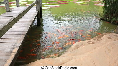 Carps in the pond - Carps are in the beautiful pond with...