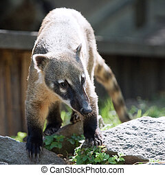 South American coati, or ring-tailed coati - The South...