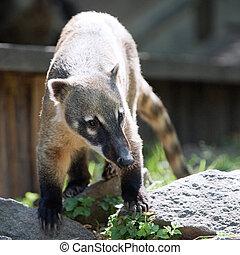sur, norteamericano, coati, o, llame tailed, coati,
