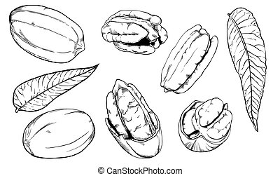 Vector pecan on white background. Isolated nuts. - Pecan on...