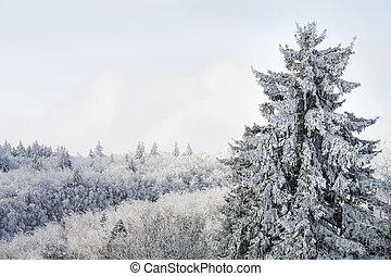 bello, abete, innevato, inverno, albero, foresta
