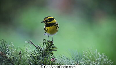songbird on pine branches - a Townsend\'s warbler perches on...