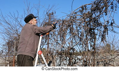 Senior elderly man gardener prunes bushes twigs - Active...