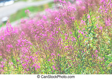Fluffy pink fireweed flowers. Close up shot