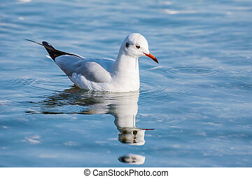 Seagull on Water