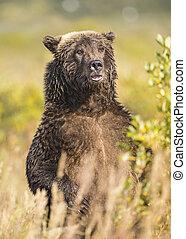 Brown bear standing up, Katmai, Alaska