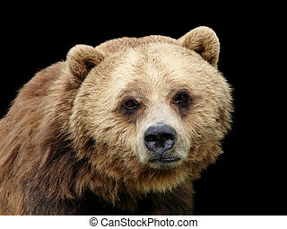 Close-up sad Grizzly bear looking at camera isolated on...