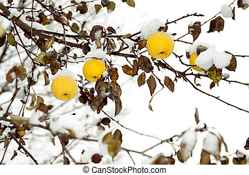 yellow apples on an apple-tree under snow - yellow apples on...