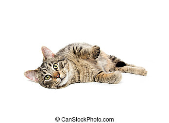 Tabby cat laying down - Cute tabby cat laying down isolated...