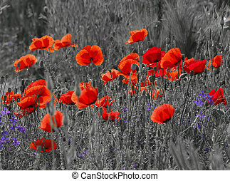Field poppies - Black and white image of a meadow with red...